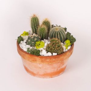 Cactusi in vas ceramic